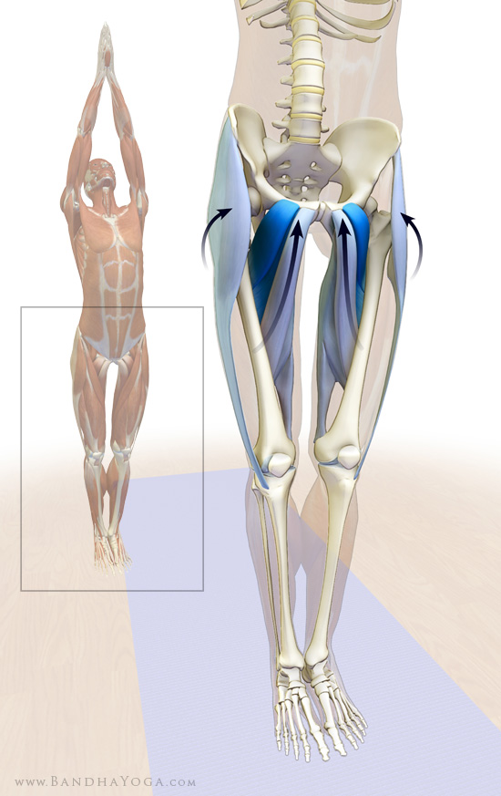 the adductors and TFL in mountain pose