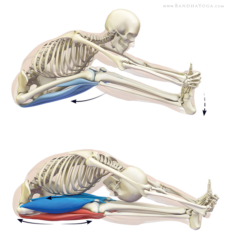 Stretching the hamstrings in paschimottanasana.