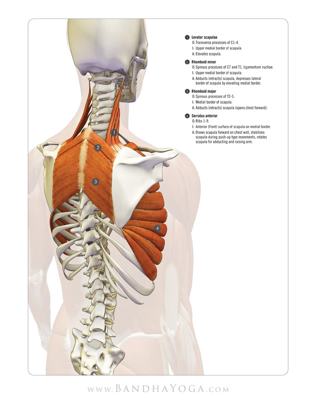 <strong>Scapulothoracic Muscles</strong> - This image is from the 'Anatomy Index' in the 'Yoga Mat Companion' Series