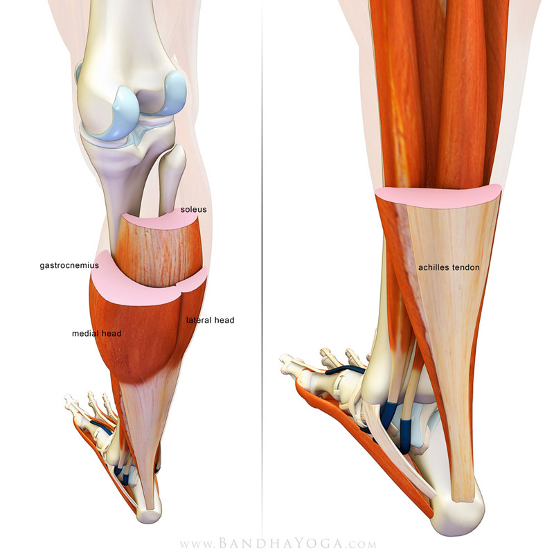 <strong>Gastroc Soleus Cross Section</strong> - This image is from the post <em>The Gastrocnemius/Soleus Complex in Yoga</em> on the <em>Daily Bandha</em> blog Series
