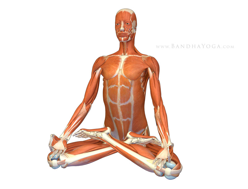 <strong>Padmasana - Lotus Pose</strong> - This image is from <em>Anatomy for Hip Openers and Forward Bends </em> from the <em>Yoga Mat Companion</em> book series.