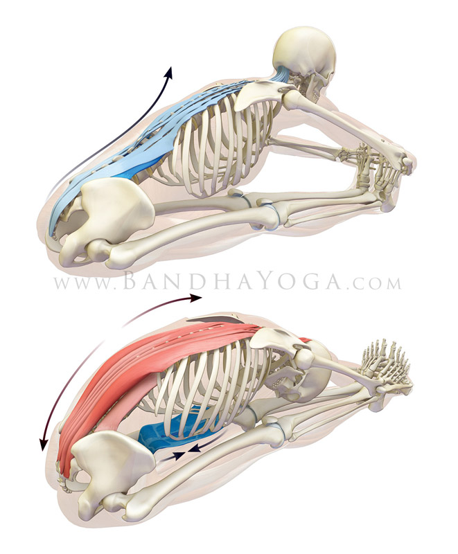 <strong>Paschimottanasana</strong> - This image is from <em>Anatomy for Hip Openers and Forward Bends </em>. Showing a facilitated stretch of the erector spinae muscles.