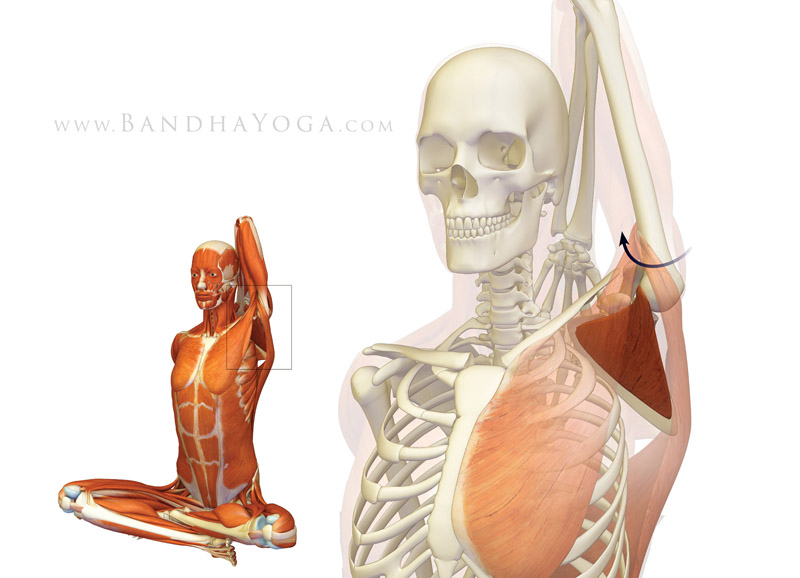 <strong>Gomukhasana Subscapularis</strong> - This image is from <em>Shoulder Biomechanics, Part I: The Subscapularis Muscle</em> on the <em>Daily Bandha</em> blog series.