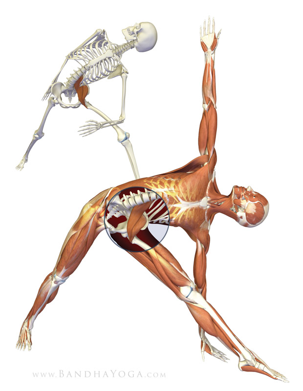 <strong>Trikonasana - Iliopsoas</strong> - This image is from <em>Anatomy for Vinyasa Flow and Standing Poses</em> in the <em>Yoga Mat Companion</em> book series.