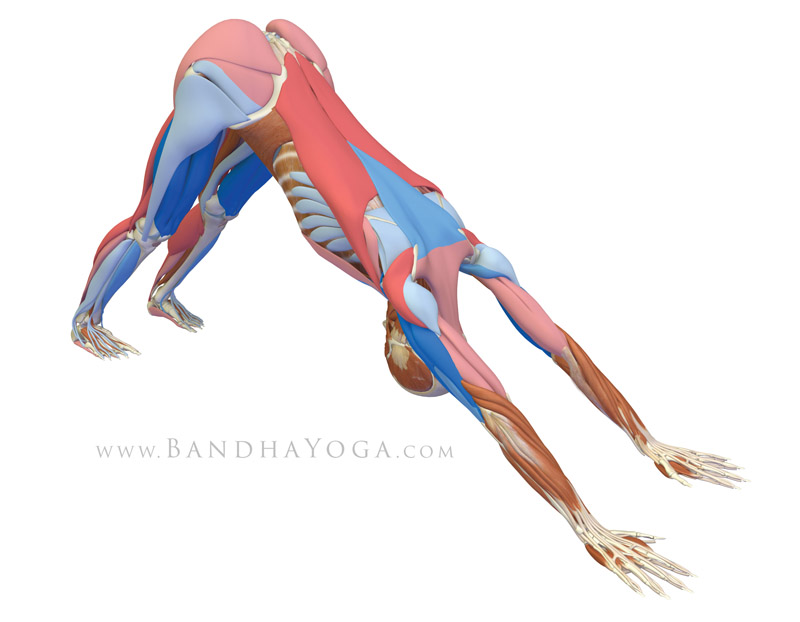 <strong>Downward Facing Dog Pose</strong> - This image is from 'The Key Poses of Yoga'. Showing musles that are stretching in pink and those that are contracting in blue.