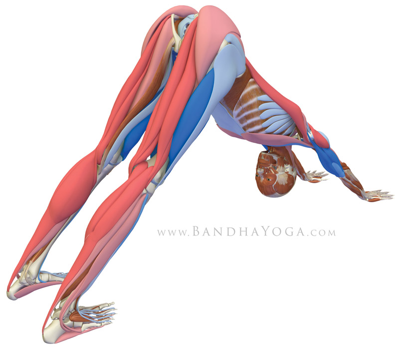<strong>Downward Facing Dog Pose</strong> - This image is from 'The Key Poses of Yoga' book. Showing the musles that are stretching in pink and those that are contracting in blue.