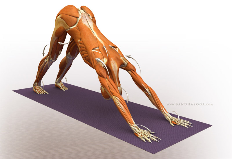 <strong>Downward Facing Dog Pose</strong> - This image is from 'Anatomy for Arm Balances and Inversions' in the 'Yoga Mat Companion' Series