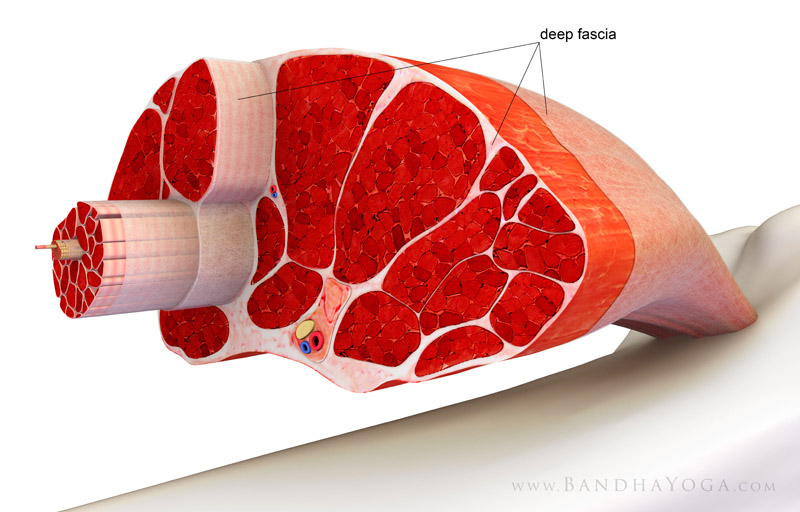 <strong>Muscle Cross Section</strong> - This image is from the article '<em>Plantar Fasciitis, Myofascial Connections and Yoga</em>' on the Daily Bandha blog series