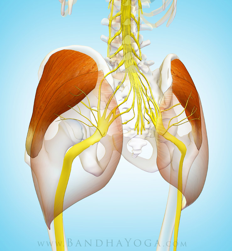 <strong>Gluteus Medius Innervation</strong> - This image is from the post <em>The Gluteus Medius Muscle in Yoga</em> on the <em>Daily Bandha</em> blog Series