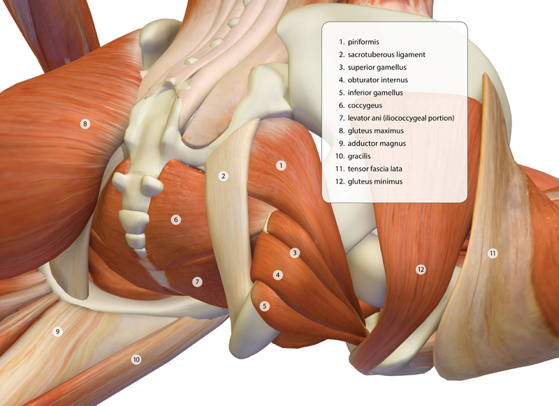 <strong>Deep Hip Muscles in Pigeon Pose</strong> - This image is from the <em>Index of Anatomy</em> in <em>The Key Poses of Yoga</em>.