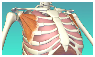 Accessory Muscles of Breath Part I